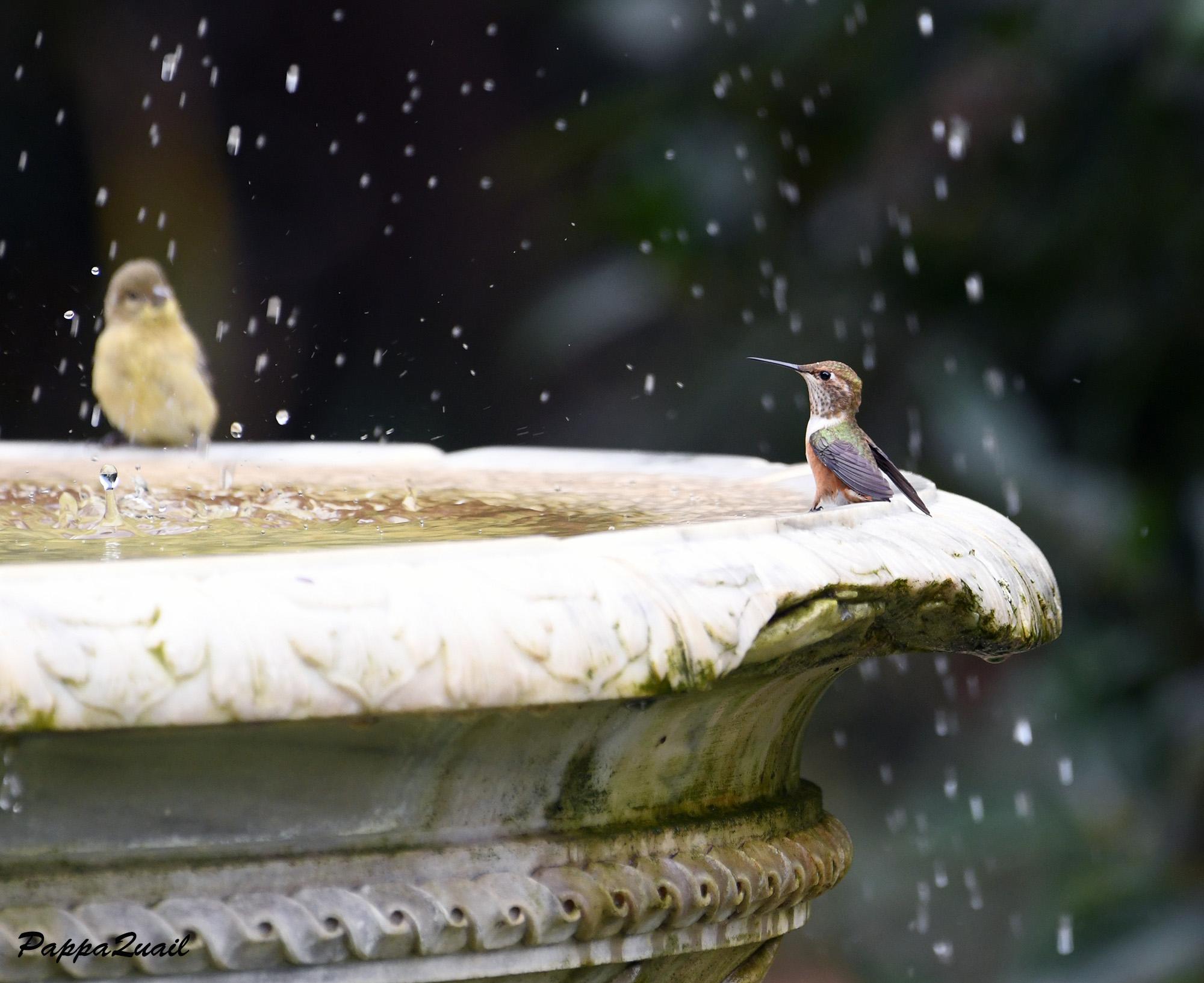 Allen's Hummingbird - female