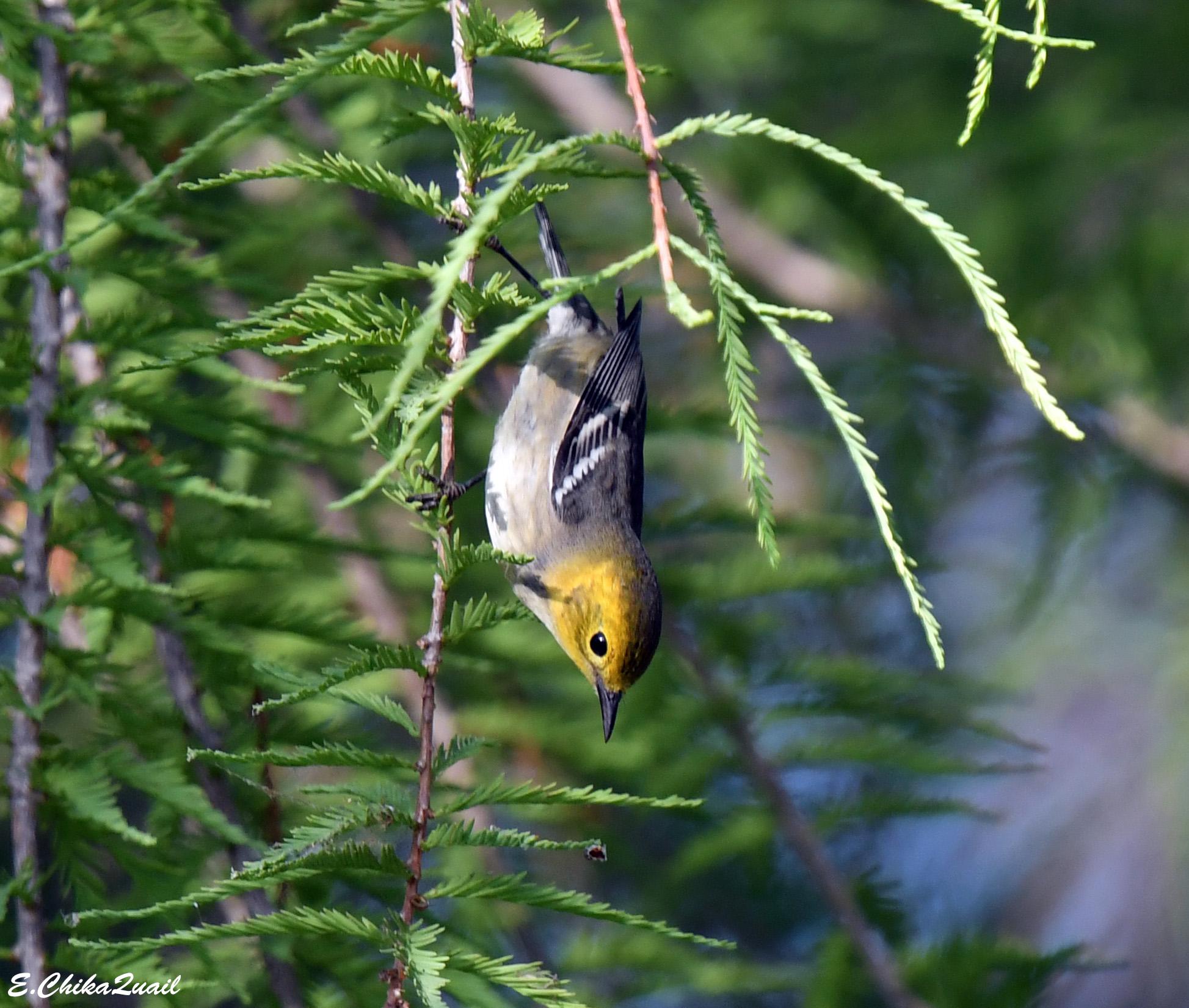 Hermit Warbler - female