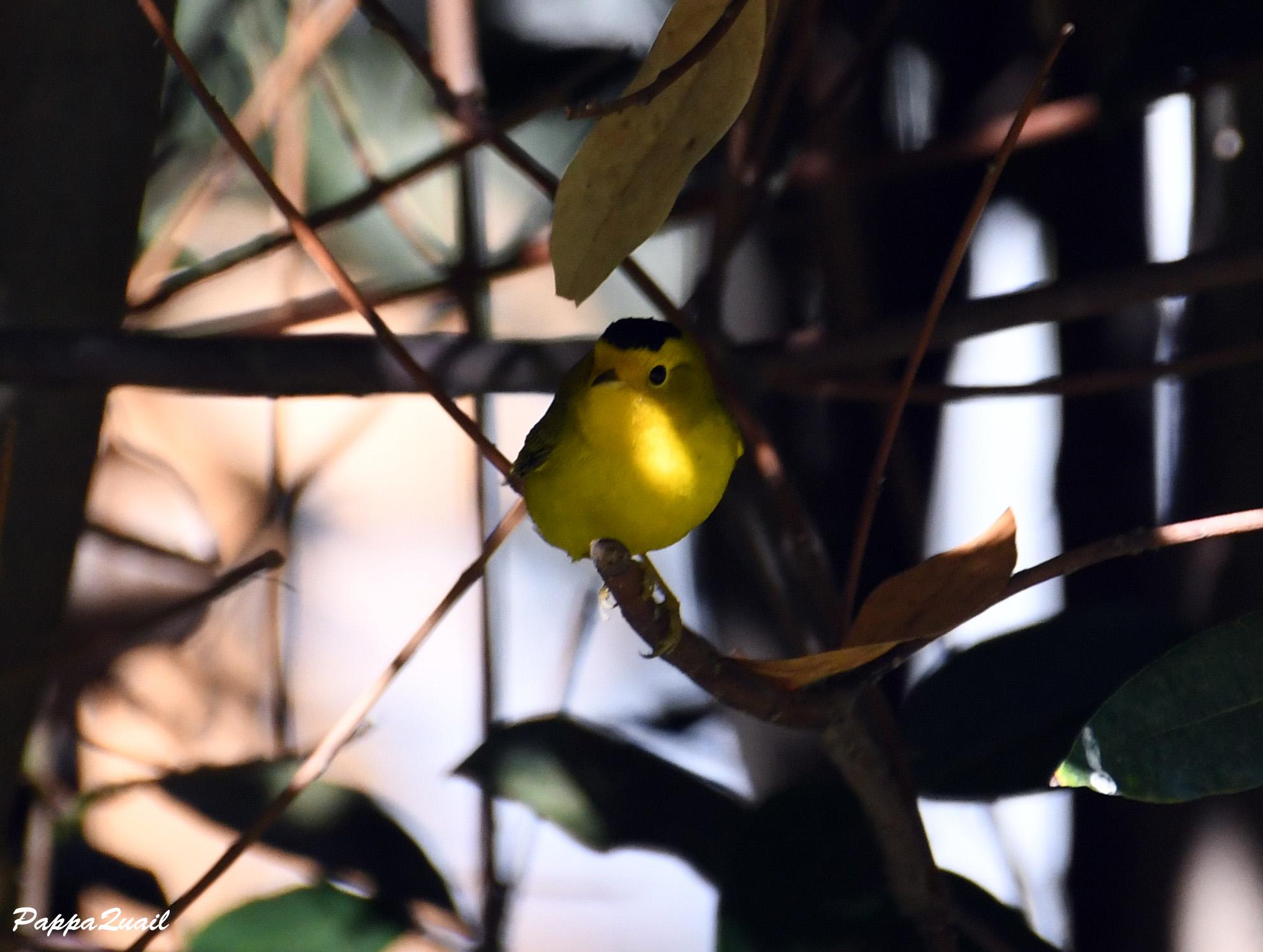 Wilson's Warbler - adult male
