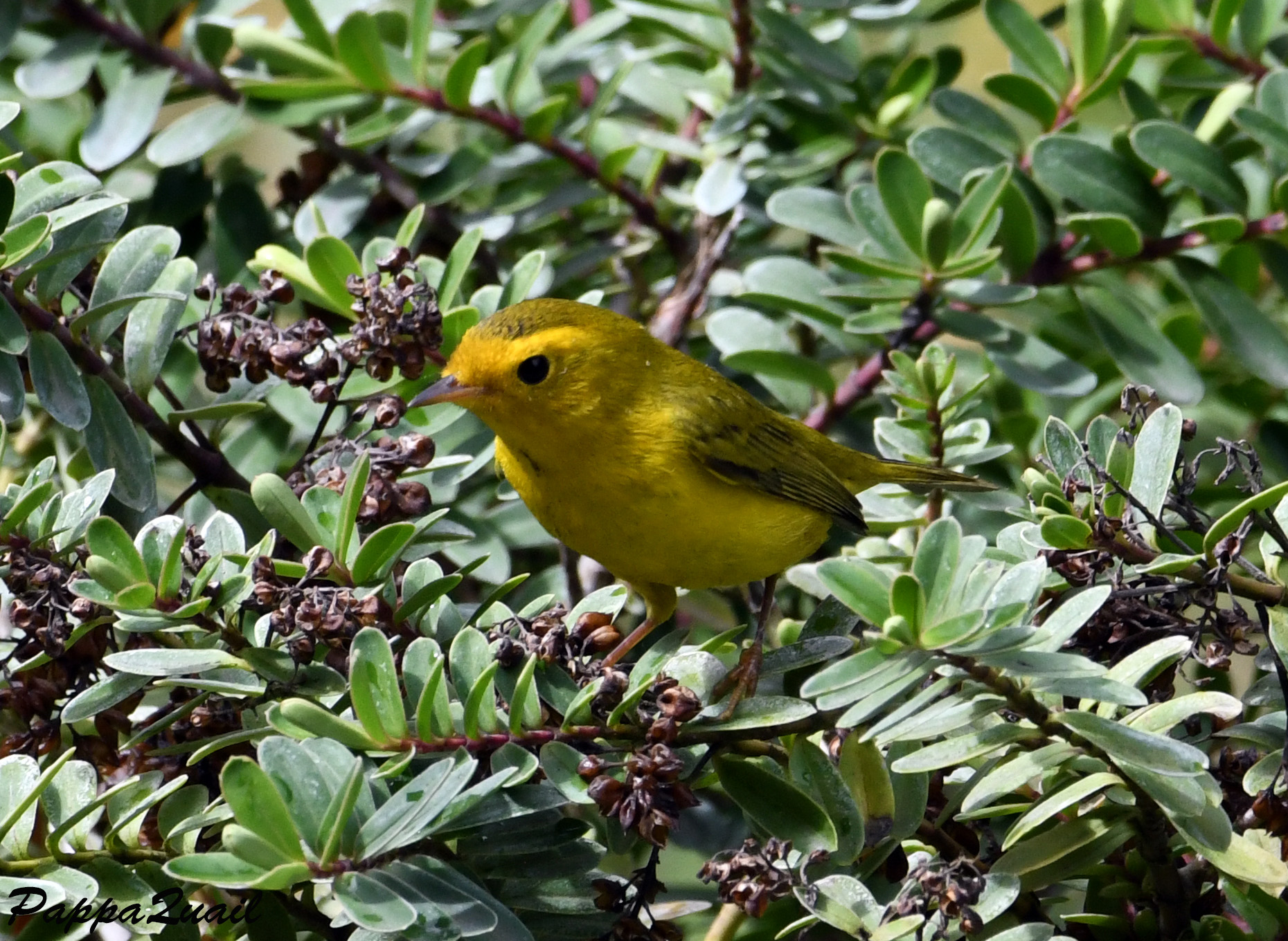 Wilson's Warbler - young female