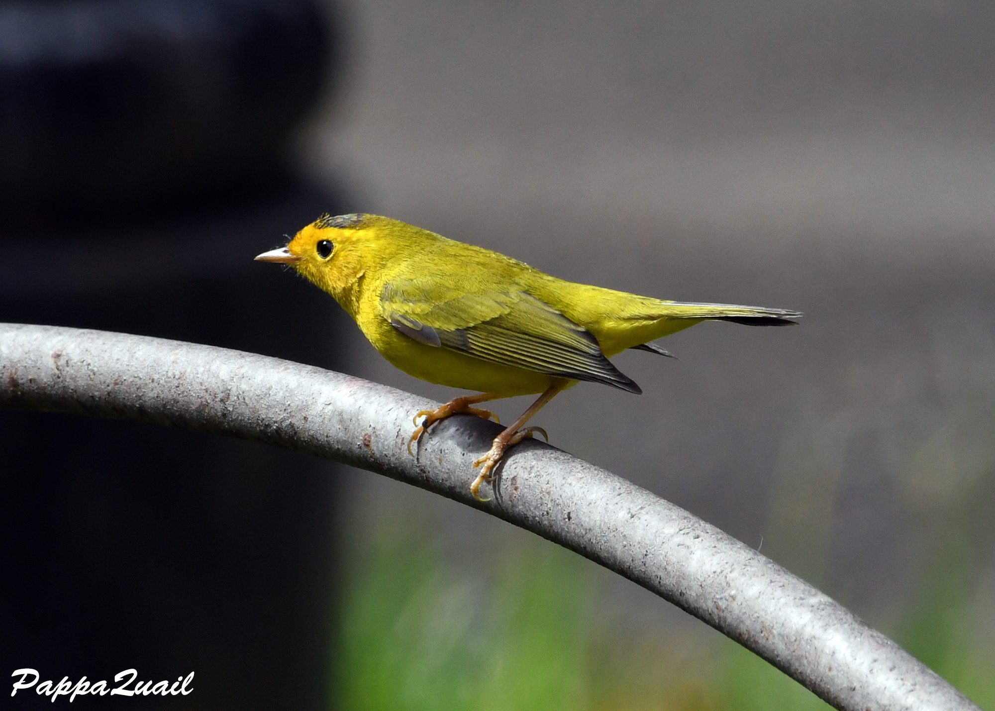 Wilson's Warbler - young male